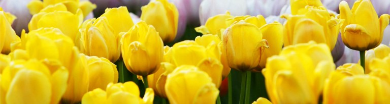 header-1920-515-tulipes